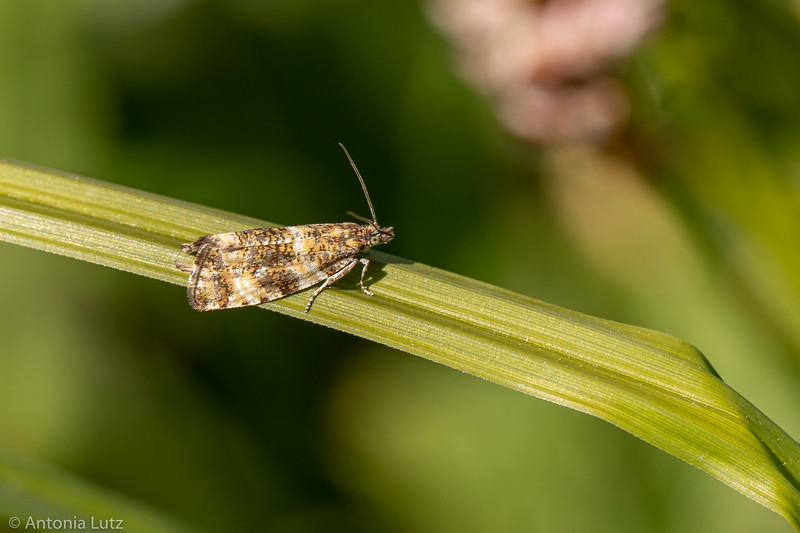 Wickler (Phiaris micana)