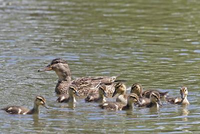 2013-06-03-A + Arboretum Creek + Herons