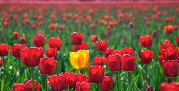 WA Tulips