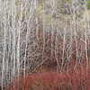 Aspen and Red Osier Dogwood in Early Spring