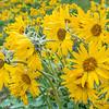 Balsamroot Spring Bloom