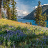 Lupine above Lake Chelan