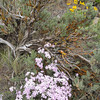 Sagebrush and Phlox