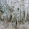 Frost and Aspens