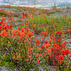 Indian Paintbrush (Castilleja spp.)