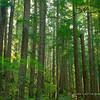 Ohanapecosh Forest