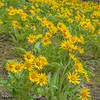 Balsamroot in Full Bloom