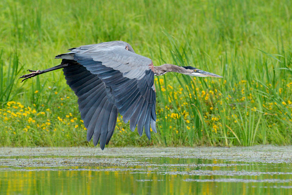 Great Blue Heron flies past yellow wildflowers in marsh • Dryden Lake, NY • 2012