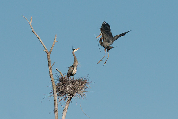 Great Blue Heron brings nesting material to mate on nest • Sterling Nature Center, Sterling NY • 2013