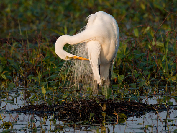 Great Egret in breeding plumage preens in light of sunset • Metzger Marsh Wildlife Area, OH • 2014