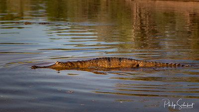 Freshwater Crocodile floating on surface, Geikie Gorge, Fitzroy Crossing, Western Australia.