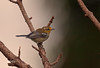 WARBLER (UNUSRE WHICH ONE THOUGH)