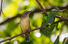 PHILLY VIREO