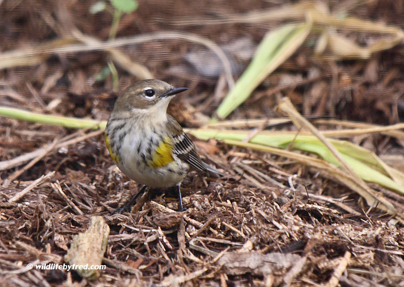 Juvenile Yellow Rumped Warbler (I Think)