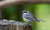 YELLOW RUMPED WARBLER (MALE)