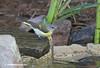 American Redstart (female)