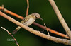 RED-EYEED VIREO