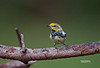 BLACK THROATED GREEN WARBLER