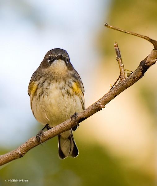 Juvenile Yellow-rumped Warbler