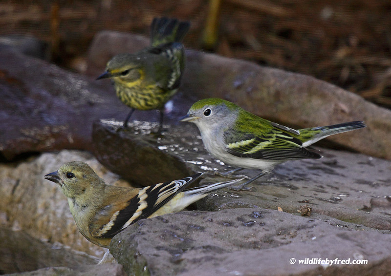 First fall female chestnut sided Warbler