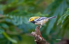BLACK THROATED GREEN WARBLER (JUVENILE)