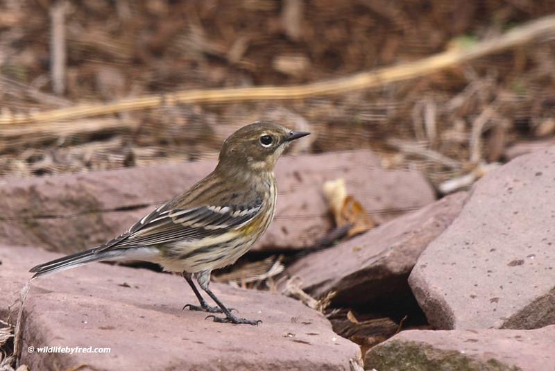 Juvenile Yellow Rumped Warbler (I Think)