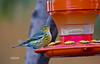 WARBLER DRINKING FROM HUMMINGBIRD FEEDER