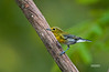 YELLOW THROATED VIERO