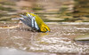 BLACK THROATED GREEN WARBLER TAKING A BATH