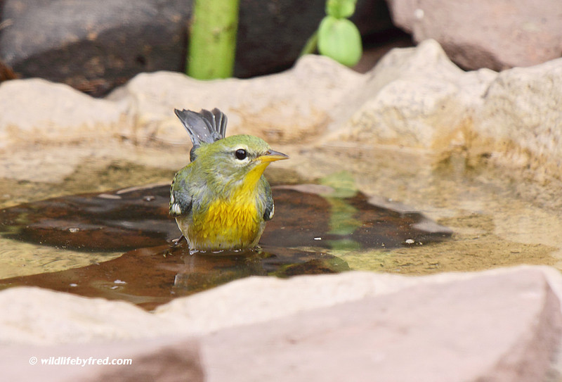 This is a Northern Parula (thanks to Scott Linstead for the ID), photo was taken in my back yard and this is a new sighting for me.