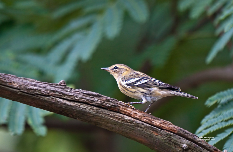 BLACKBURNIAN WARBLER (I THINK)
