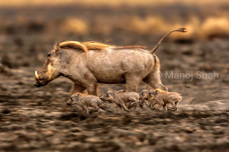 Warthog with babies fleeing from predators on Lake Natron shore, Tanzania.