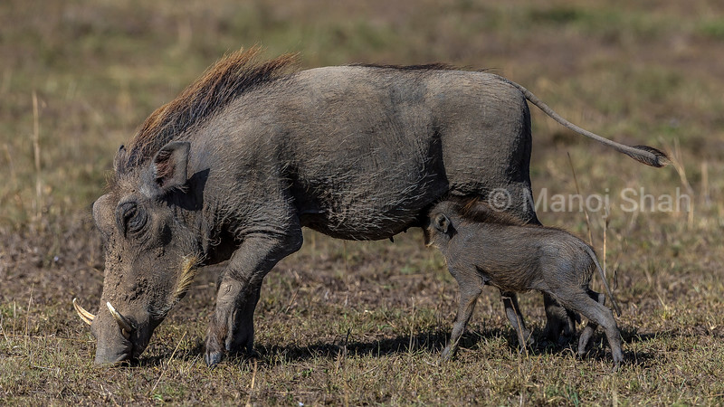 Warthog piglet suckling its mother in masai Mara