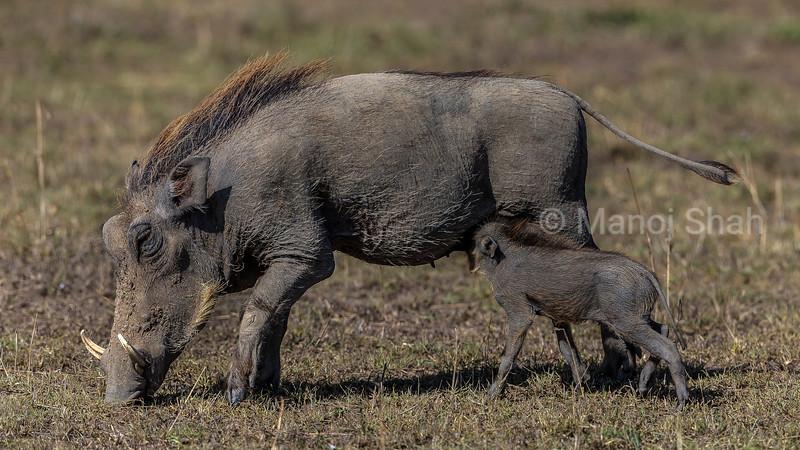Warthog piglet suckling its mother in masai Mara