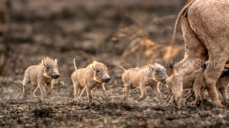 Warthog babies following mother in Serengeti National Park, Tanzania.