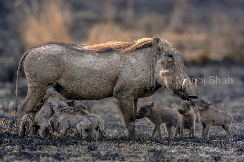 warthog mother with babies in Serengeti National Park, Tanzania.