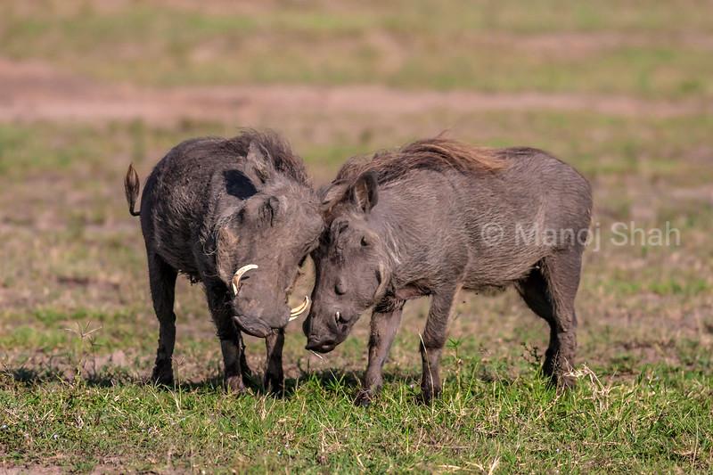 two warthogs greet each other in Masai Mara savannah.