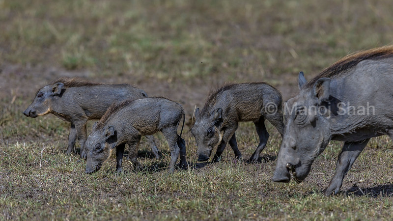Warthog piglet and mother grazing in Masai Mara.