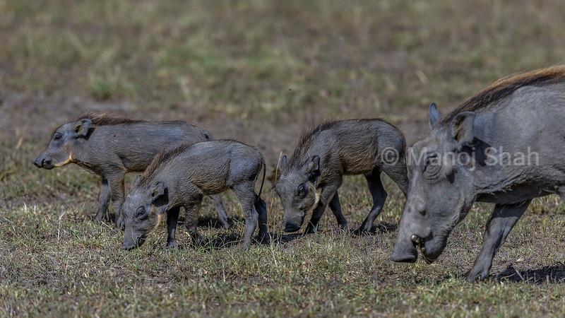 Warthog piglet and mother grazing in Masai Mara.
