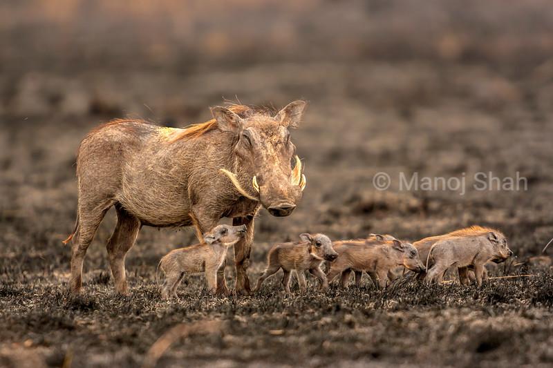 Warthog mother with babies  on Lake Natron shore, Tanzania.