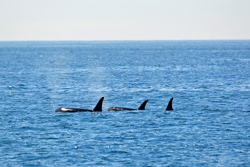 San Juan Island orcas