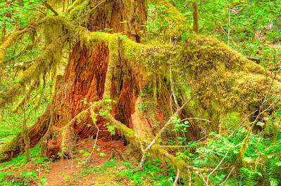 1885 Hoh Rainforest