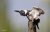 BELTED KINGFISHER DRYING ITSELF