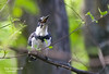 BELTED KINGFISHER SWALLOWING ITS LUNCH