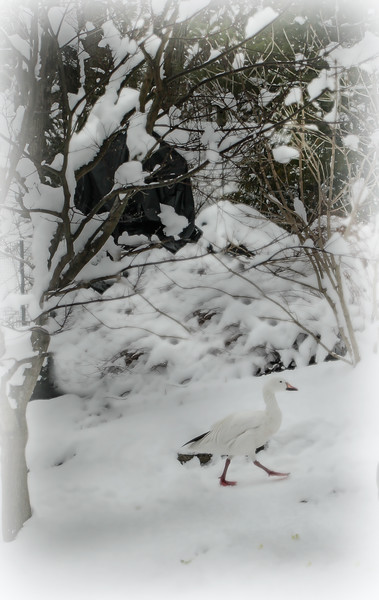 Snow goose (Chen caerulescens) walking in snow