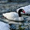 Black-necked swan (Cygnus melancoryphus ) swimming in winter pond