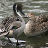 Northern pintail pair (Clangula hyemalis) courting
