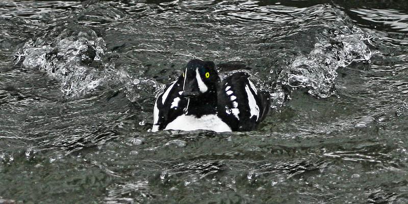 Barrows golden-eye drake (Bucephala islandica) speeding through water