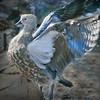 Abyssinian blue-winged goose (Cyanochen cyanoptera) spreading on land his wings