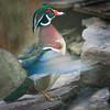 Wood Duck (Aix sponsa) display